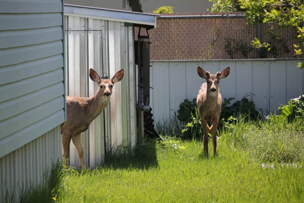 Two yearling deers in the back yard