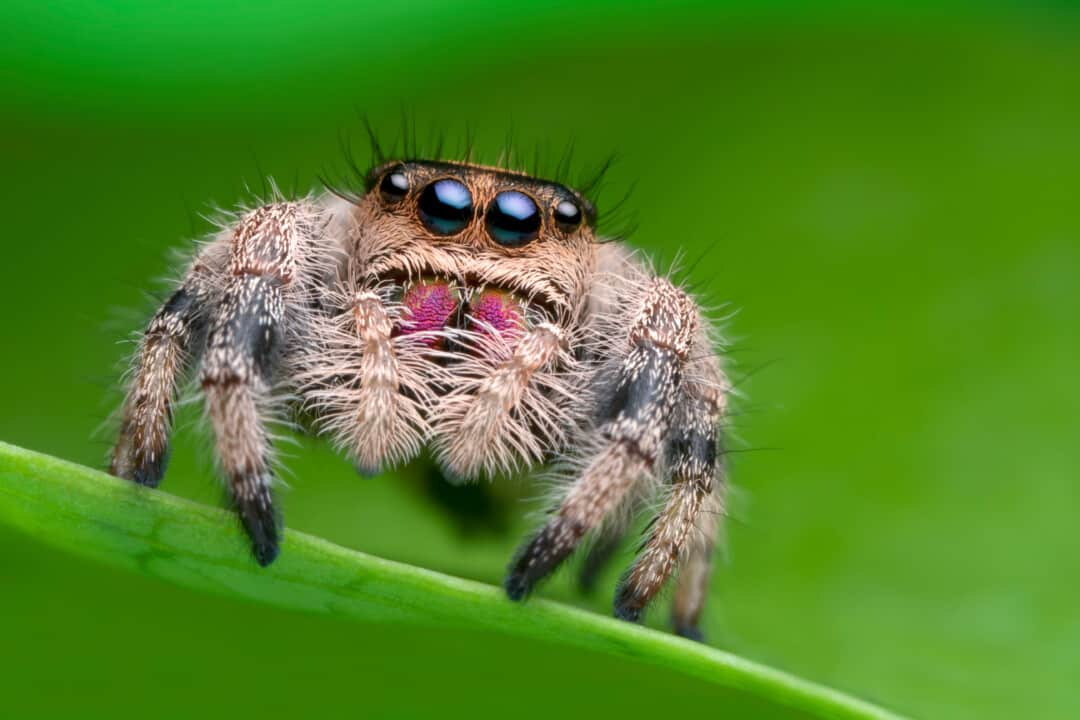 Jumping spider on green leaf in nature.