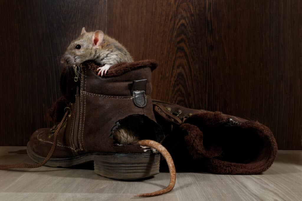 Close-up a rat sits in ragged brown boot on the gray floors. The tail protrude from hole. The concept of rodent control.
