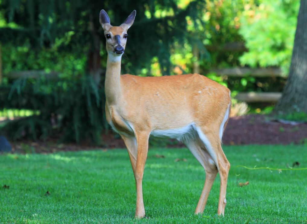 White-tailed Deer doe standing in shady woodland in Maryland during the Summer
