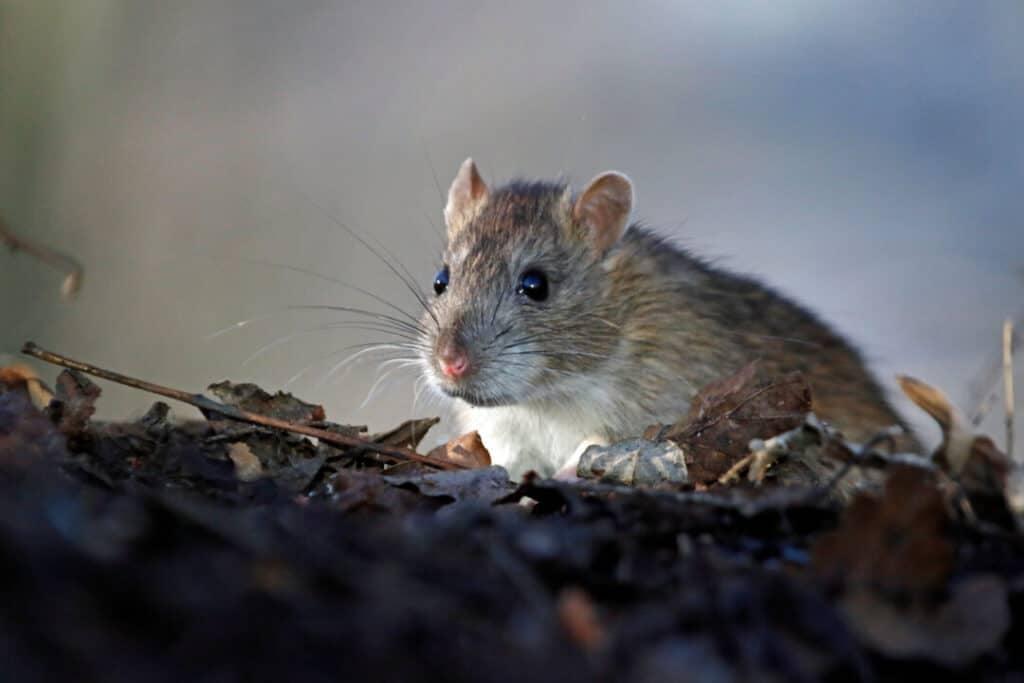 Wild rat foraging in the woods