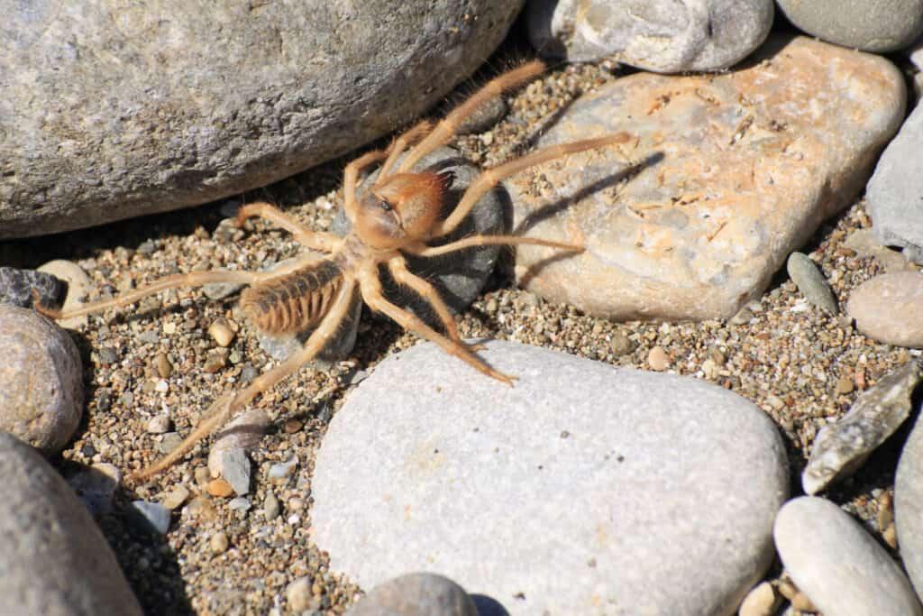 Camel spider or Solfugid.