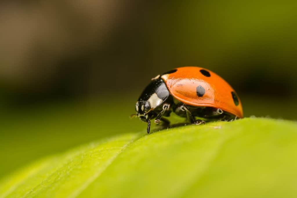Macro Photo Of A Ladybug On A Leaf