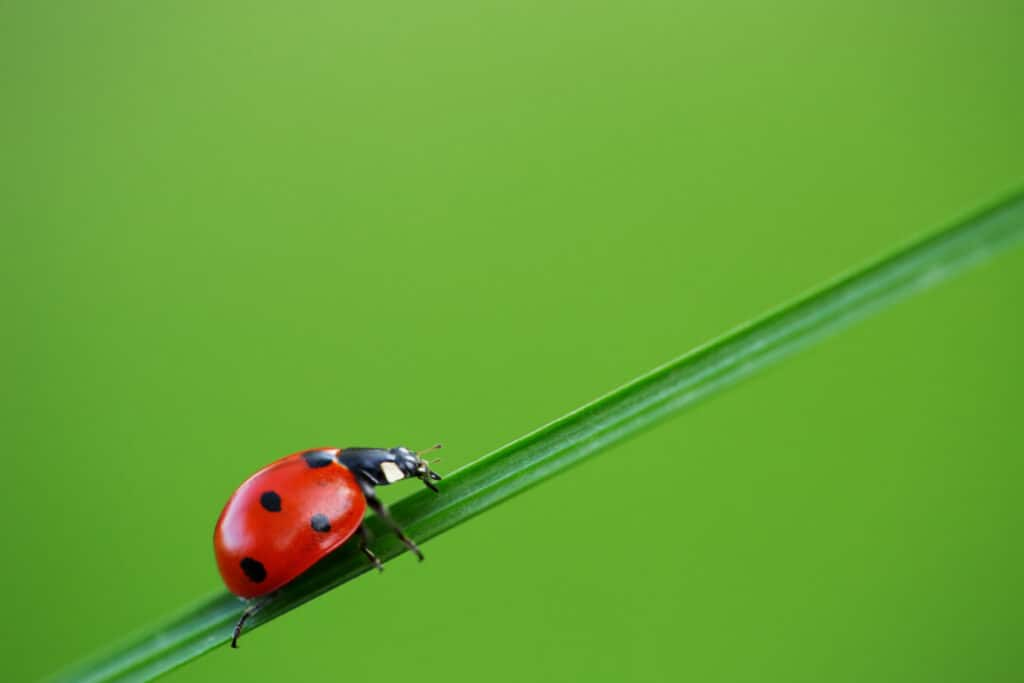 Ladybug on green grass and blue background