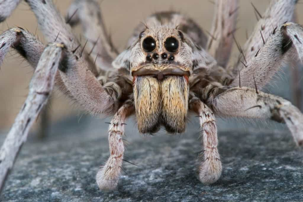 A male wolf spider crawling over a rock.