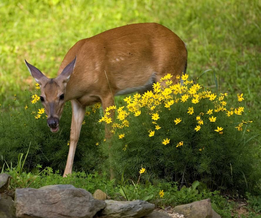 whitetail doe that's in the middle of a garden