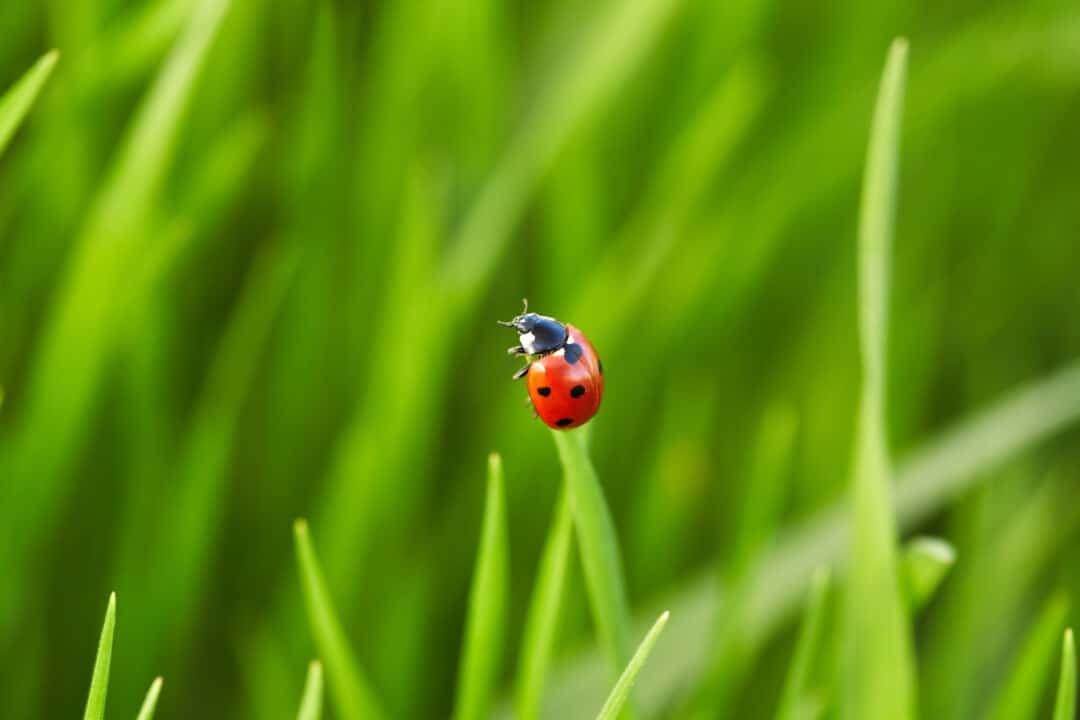 ladybug on green grass. Nature background bug on green grass